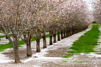Nut Orchard, Winters, CA
